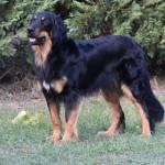 Tiberius Gasko Prim - krycí pes