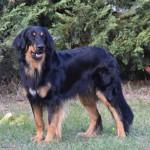 Tiberius Gasko Prim - krycí pes_