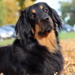 Tiberius Gasko Prim - krycí pes (stud dog)